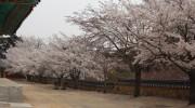 활짝핀 은해사 벚꽃